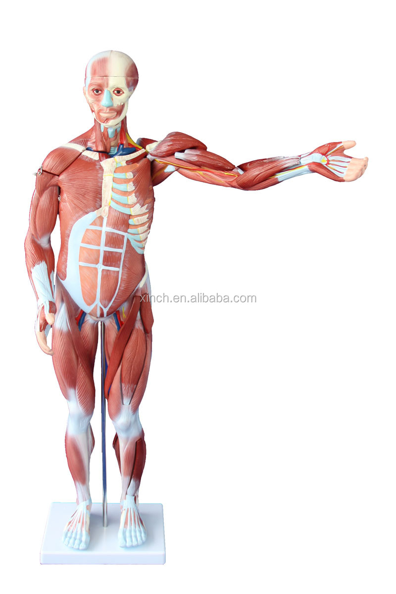 80cm Human Muscle Model Male (27parts) - Buy 80cm Human Muscle Model ...