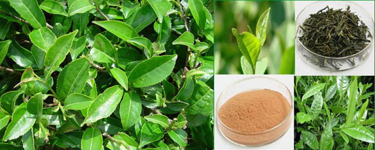 CAS 84650-60-2 green tea extract GTP EC EGCG green tea polyphenol