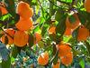 2015 fresh baby mandarin honey orange from jiangxi province in best quality