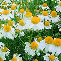 100pcs A Pack Chamomile Canomile Flower Herb Plant Seeds Garden Courtyard Home Making Your Own Refreshing Tea Free Shipping
