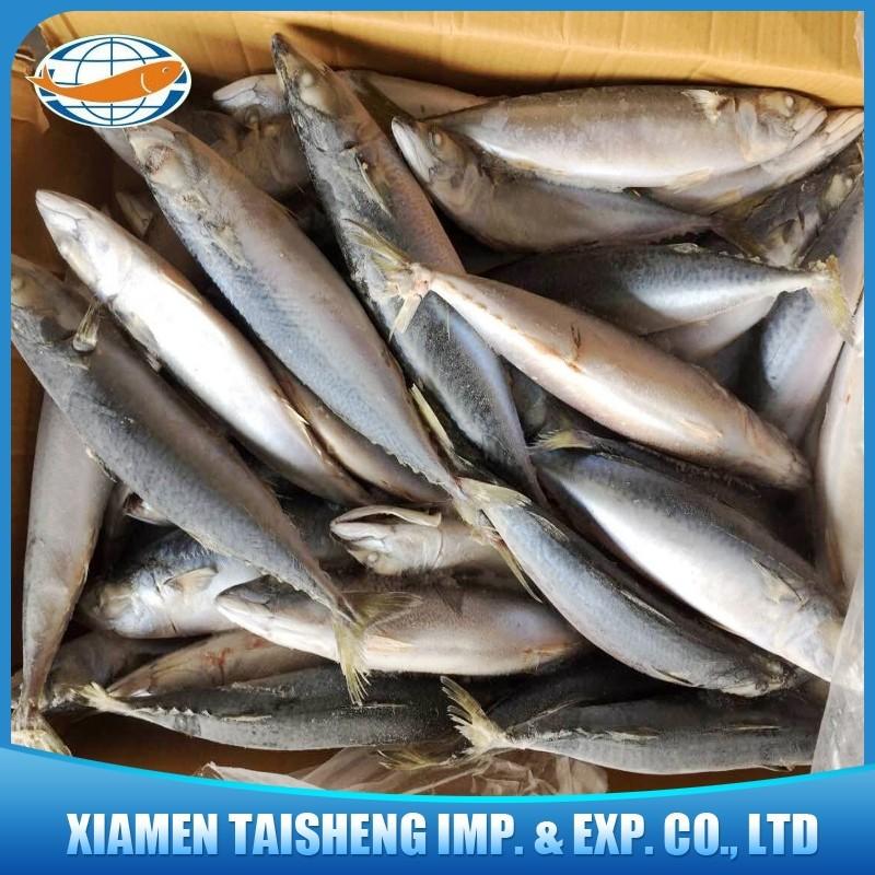 Scientific Name Of Frozen Whole Atlantic Mackerel Fish On
