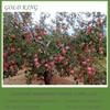 Wholesale Fuji Apple Price / Apple Fruit Price