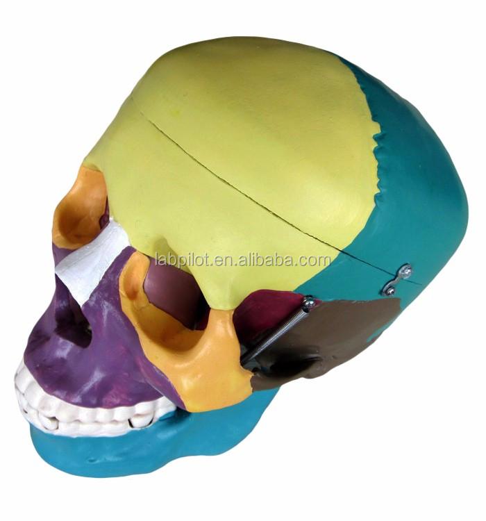 104C colored skull model (3).jpg