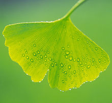 Ginkgo flavone Glycosides 24%/Terpene Lactones 6%