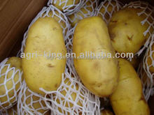 2015 NEW CROP Fresh Holland variety potato