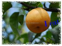 2015 good quality pear