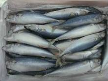 FROZEN MACKEREL FISH FOR SELL