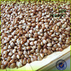 best selling new crop fresh buckwheat/dry buckwheat best grade in dalian stock/2015 Masoo brand cheap dried buckwheat