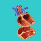 anatômico humano peças,anatomia 3d coração