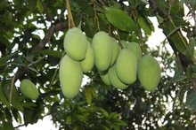 Mango cambodia