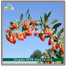 orgánicos secos de alimentos enteros de goji berry para el mercado de europa