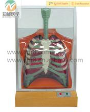 Electrónica humana pulmón sistema respiratorio modelo