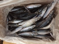 Export Africa Frozen Pacific Mackerel Fish