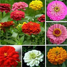 Elegans 50pcs/lot zinnia semi di colori misti pacchetti di semi di fiori casa giardino fai da te alto tasso di germinazione bonsai in vaso