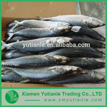 China supplier And Low Price Pacific Mackerel Scomber Japonicus