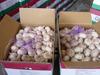 New crop fresh white garlic with loose garlic carton