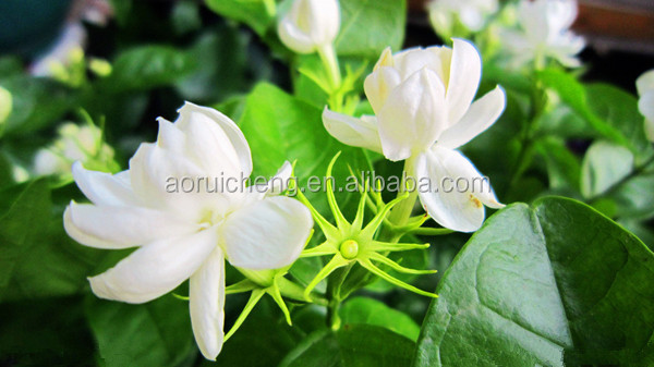 100 pure jasmine essential oilwhite flower essential oil buy 100 100 pure jasmine essential oil white flower essential oil mightylinksfo