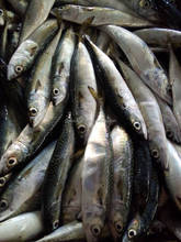 Mackerel prices scomber japonicus