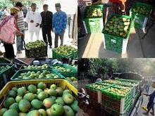 HIGH QUALITY MANGO FRUIT BEST PRICE