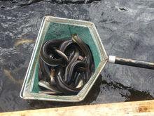anguilla rostrata live eel