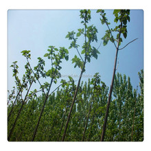 Selling well Chinese empress tree