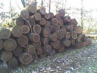 Walnut Logs (Jugla Regia)