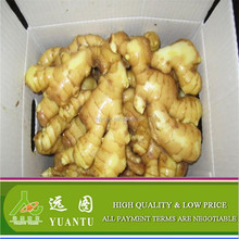 Chinese Fresh Ginger In Good Condition