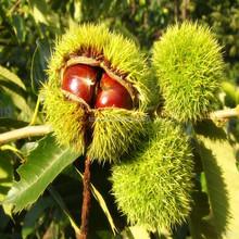 chinese health chestnut,organic fresh chestnut