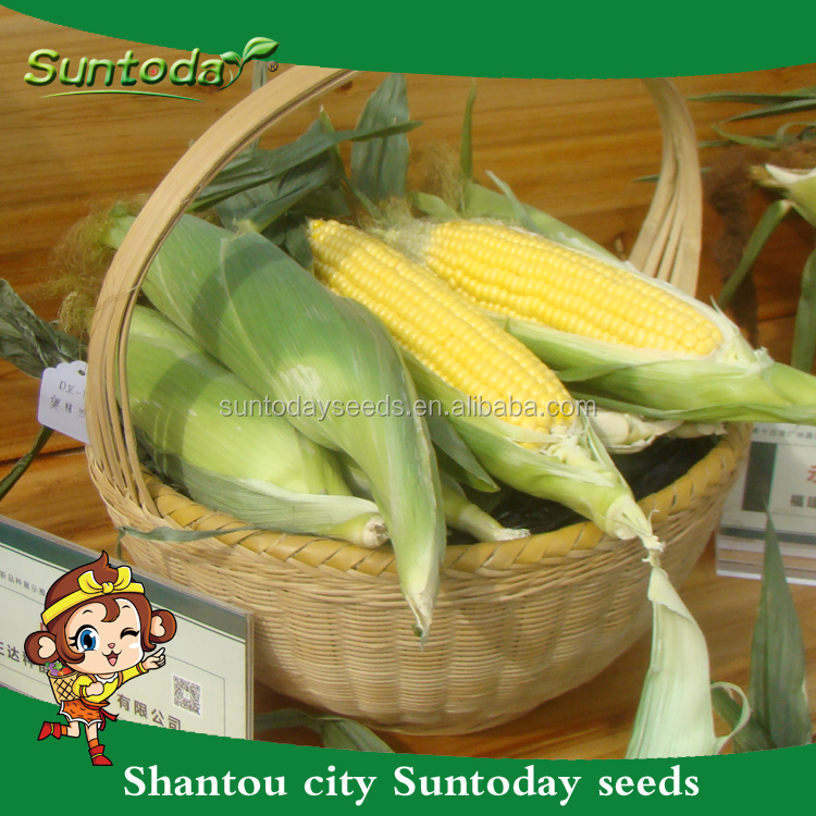 Suntodayアジア野菜非遺伝子組み換えf1スイートコーン種子用販売(61001)