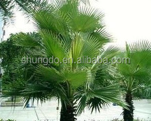 Saw palmetto fruit extract high-quality male health products raw materials