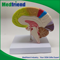mfm002 atacado china comércio anatomia modelo do cérebro