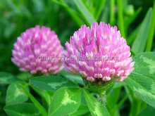 100% Nature Pure Organic high quality healthy Red Clover extract