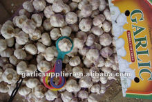 RED GARLIC CROP 2015