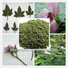 New Harvest Marshmallow Leaf Althaea Officinalis Leaf For Herbal Cigarette Raw Materials