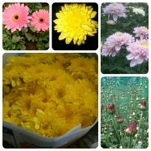 Chrysanthemum fresh cut flowers