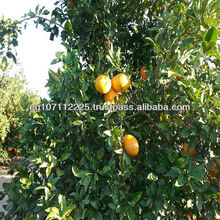 Egyptian fresh orange fruit