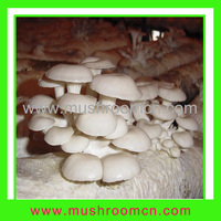 Oyster mushroom spawn bags for sale