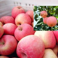 Fresh Red Fuji Apple 2014