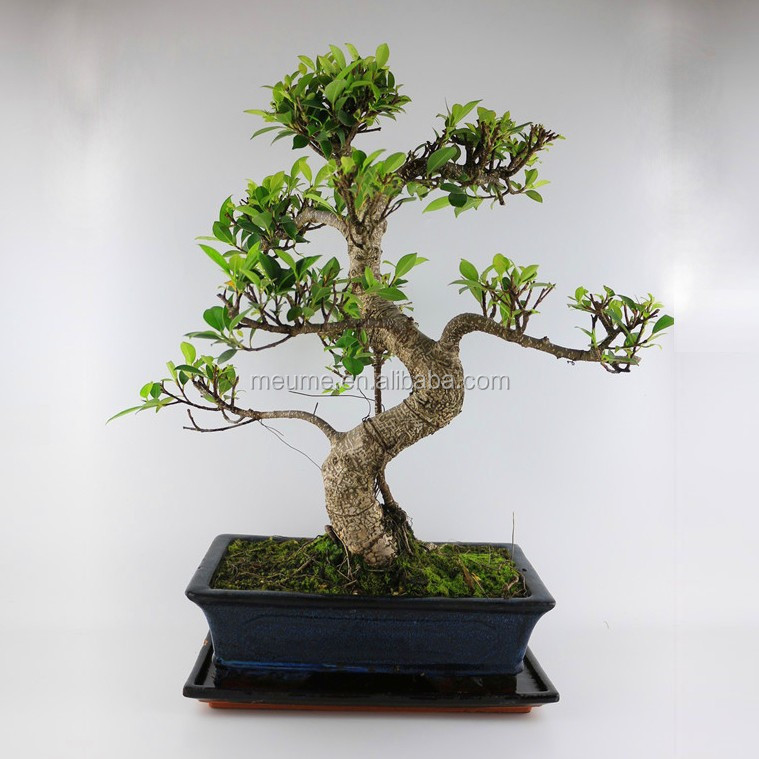 Small Indoor Plants Banyan Ficus Bonsai Buy Small Plants
