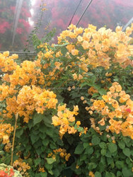 golden Bougainvillea spectabilis Willd of decorative ornamental outdoor indoor bonsai plants