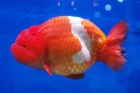 Thai Side View Ranchu goldfish