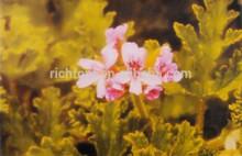 La naturaleza de geranio de oi pelargonium grave- olens
