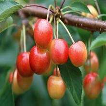 2015 Wholesale buy organic canned cherry fruit orange blossom honey
