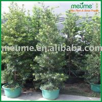 Garden Plants for Sale Podocarpus Bosnai Tree
