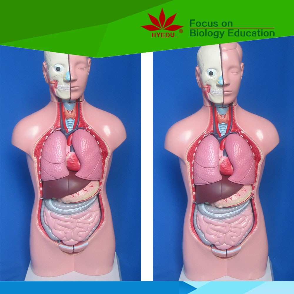 Human anatomy torso model