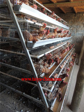 poultry cages for egg layers boilers and chicks