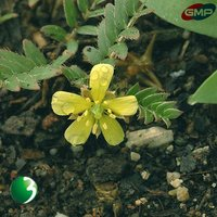 (Tribulus Terrestris Extract) 40%, 50%, 70%, 90% Saponins from GMP factory