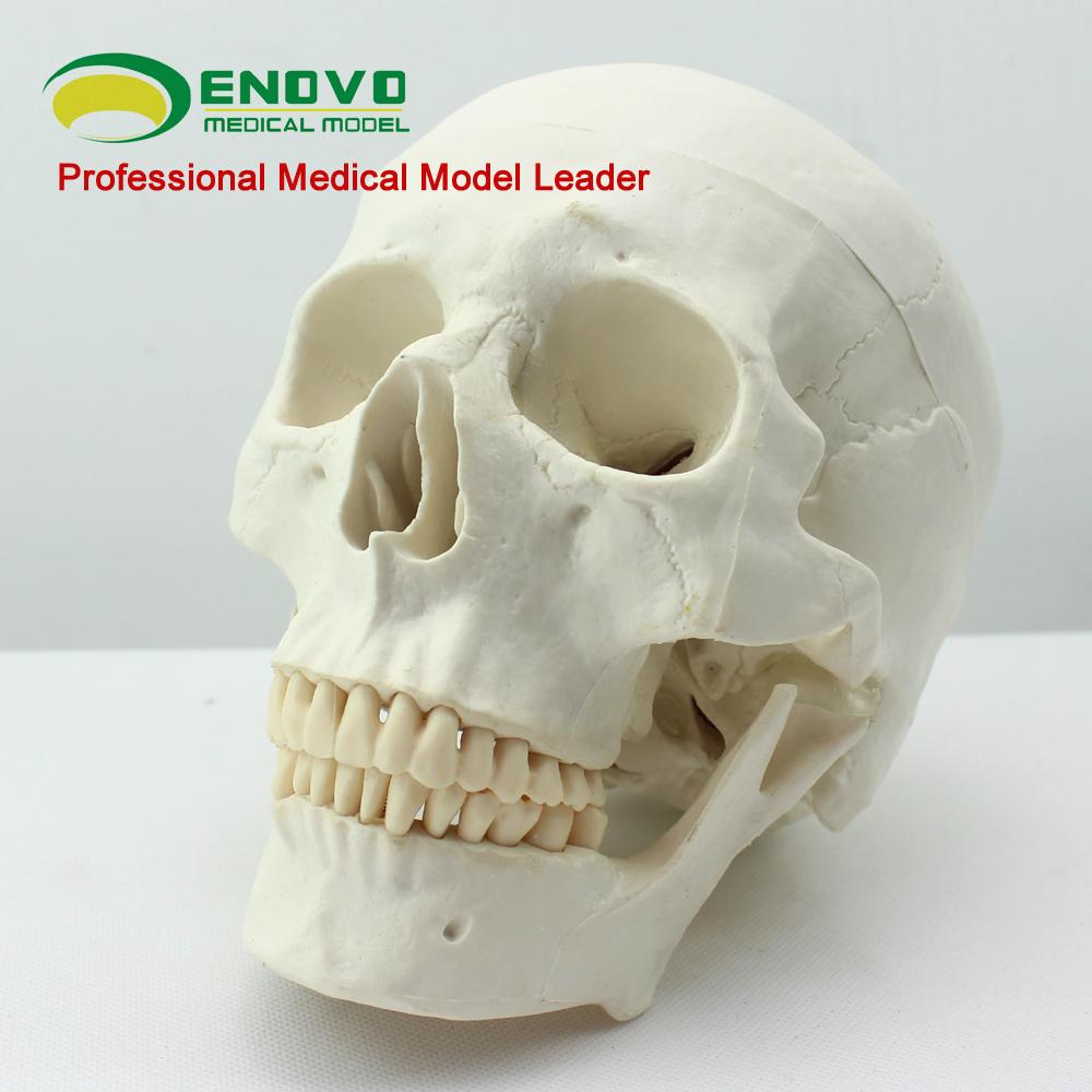Venta al por mayor del cráneo anatomía 12328 cráneos humanos huesos ...