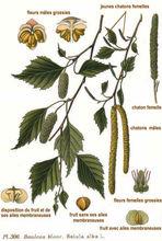 Customer Need - Betula alba Extract ( Birch Bark )