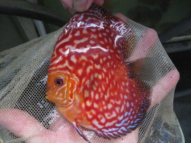 Bulldog rafflesia discus fish buy discus fish product on for Discus fish price